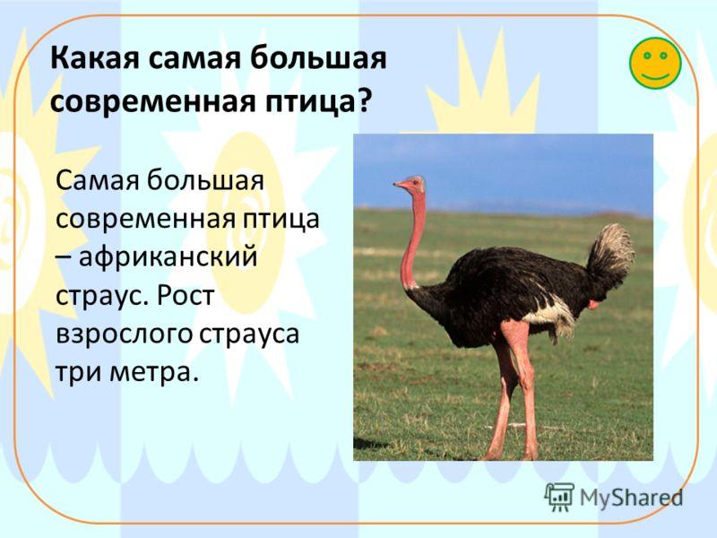 Какая самая большая современная птица? Самая большая современная птица – африканский страус. Рост взрослого страуса три метра.