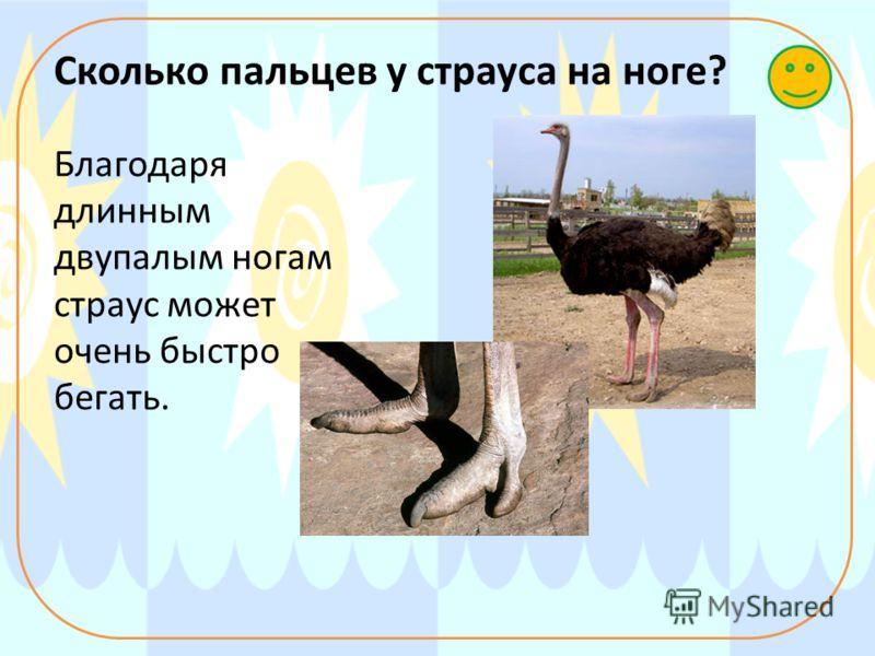 Сколько пальцев у страуса на ноге? Благодаря длинным двупалым ногам страус может очень быстро бегать.