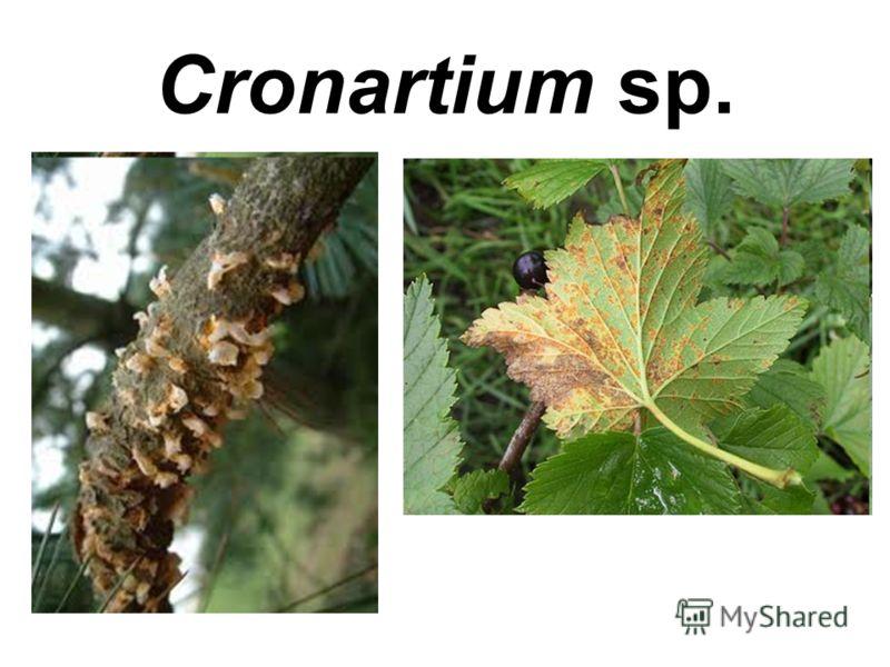Cronartium sp.