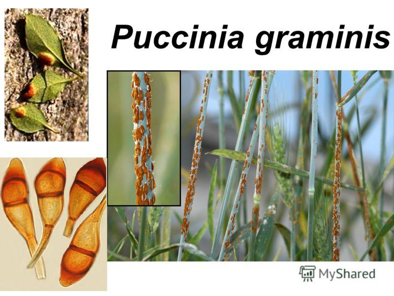 Puccinia graminis