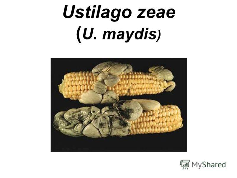 Ustilago zeae ( U. maydis )