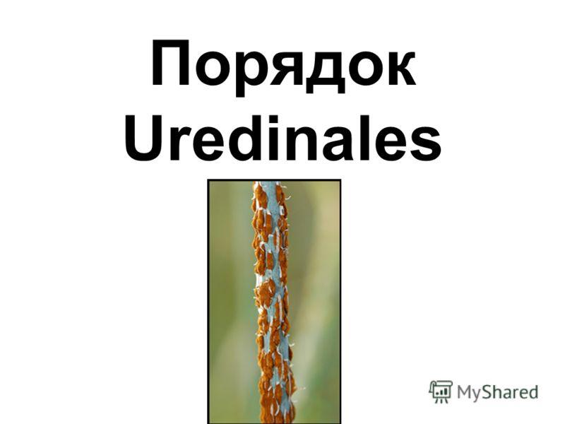 Порядок Uredinales