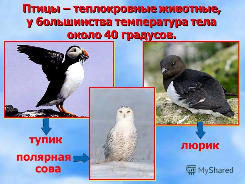 Птицы – теплокровные животные, у большинства температура тела около 40 градусов. Птицы – теплокровные животные, у большинства температура тела около 40 градусов. тупик полярная сова люрик