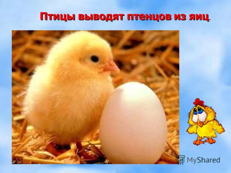 Птицы выводят птенцов из яиц.