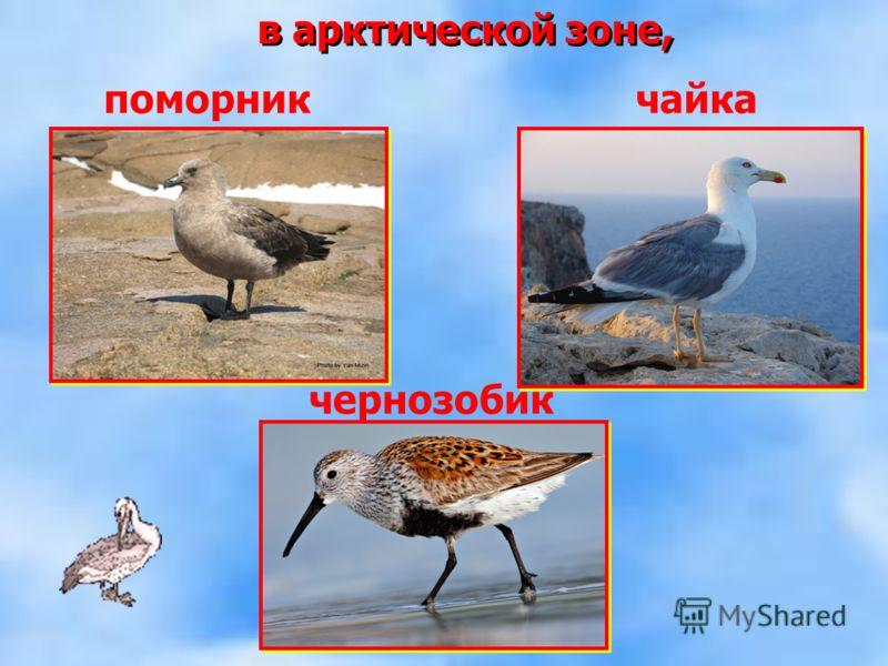 в арктической зоне, поморник чернозобик чайка