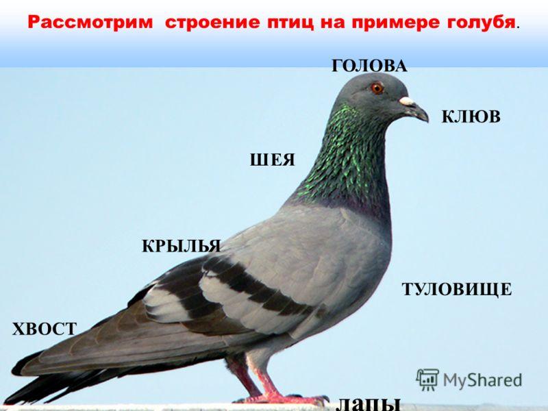 Рассмотрим строение птиц на примере голубя. КРЫЛЬЯ ГОЛОВА КЛЮВ лапы ХВОСТ ТУЛОВИЩЕ ШЕЯ