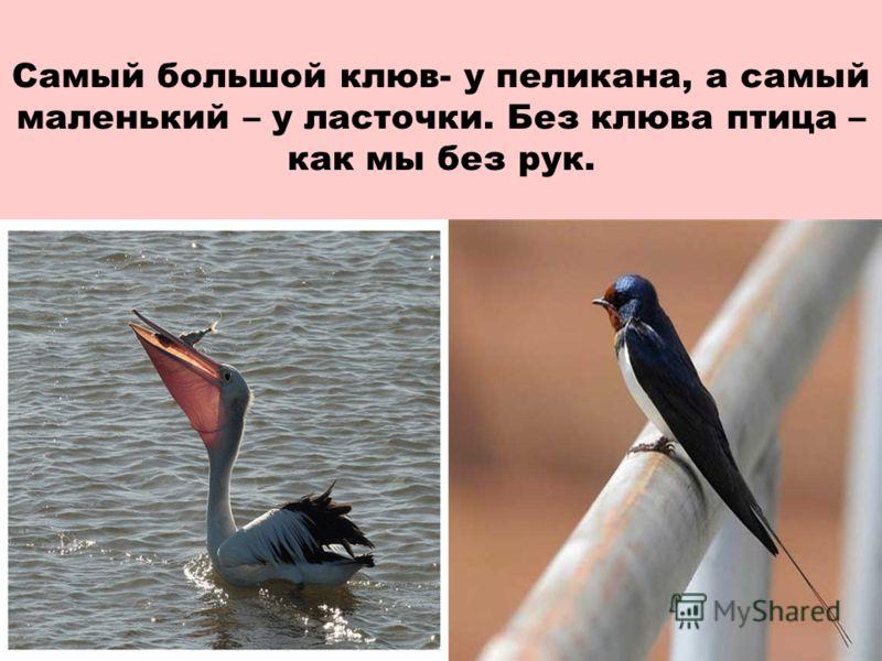 Самый большой клюв- у пеликана, а самый маленький – у ласточки. Без клюва птица – как мы без рук.