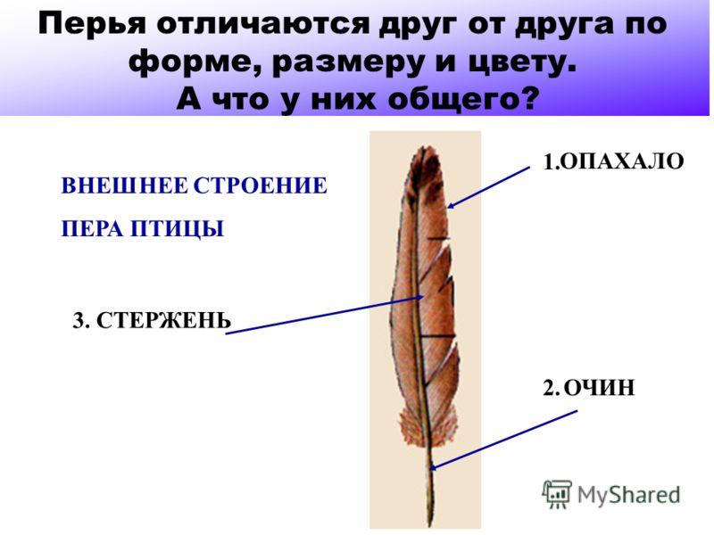 ВНЕШНЕЕ СТРОЕНИЕ ПЕРА ПТИЦЫ 1. 2. 3. ОПАХАЛО ОЧИН СТЕРЖЕНЬ Перья отличаются друг от друга по форме, размеру и цвету. А что у них общего?