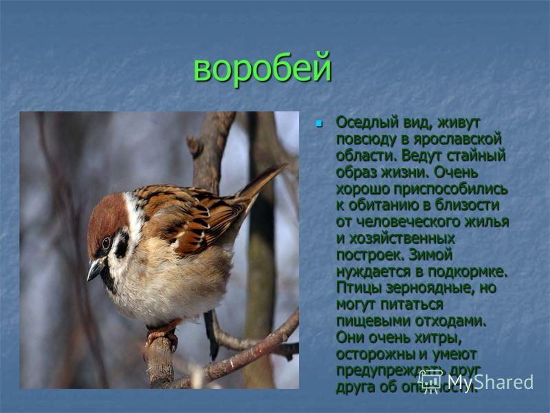 воробей Оседлый вид, живут повсюду в ярославской области. Ведут стайный образ жизни. Очень хорошо приспособились к обитанию в близости от человеческого жилья и хозяйственных построек. Зимой нуждается в подкормке. Птицы зерноядные, но могут питаться п