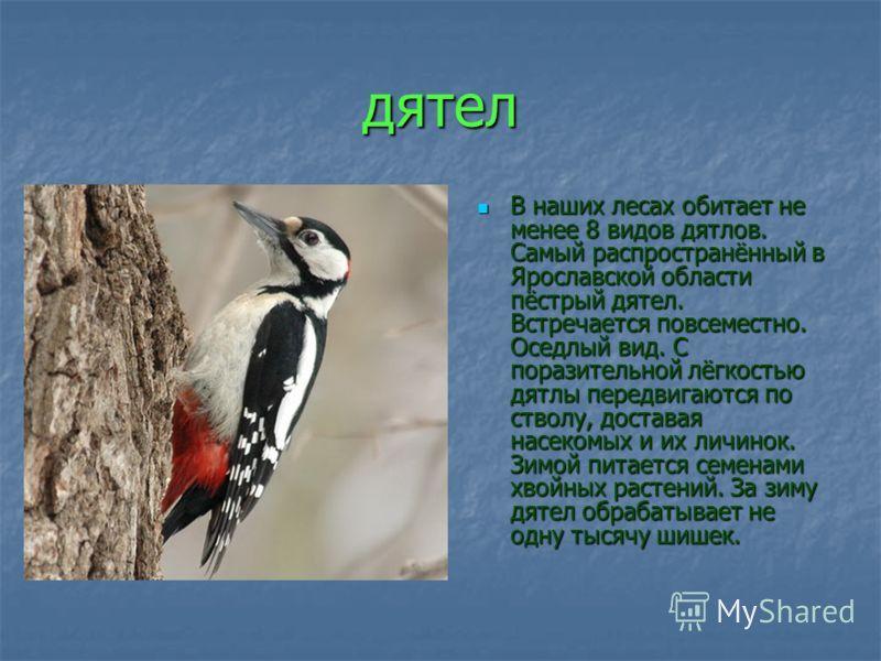 дятел В наших лесах обитает не менее 8 видов дятлов. Самый распространённый в Ярославской области пёстрый дятел. Встречается повсеместно. Оседлый вид. С поразительной лёгкостью дятлы передвигаются по стволу, доставая насекомых и их личинок. Зимой пит