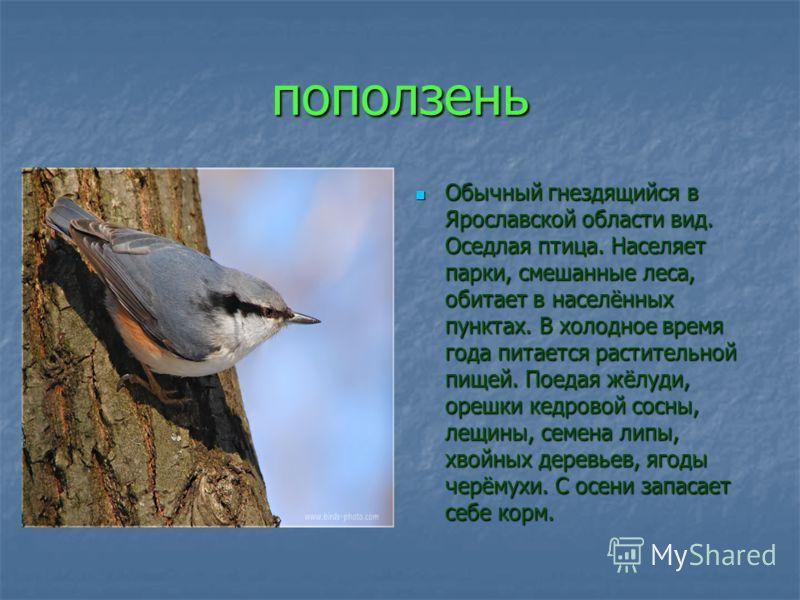 поползень Обычный гнездящийся в Ярославской области вид. Оседлая птица. Населяет парки, смешанные леса, обитает в населённых пунктах. В холодное время года питается растительной пищей. Поедая жёлуди, орешки кедровой сосны, лещины, семена липы, хвойны