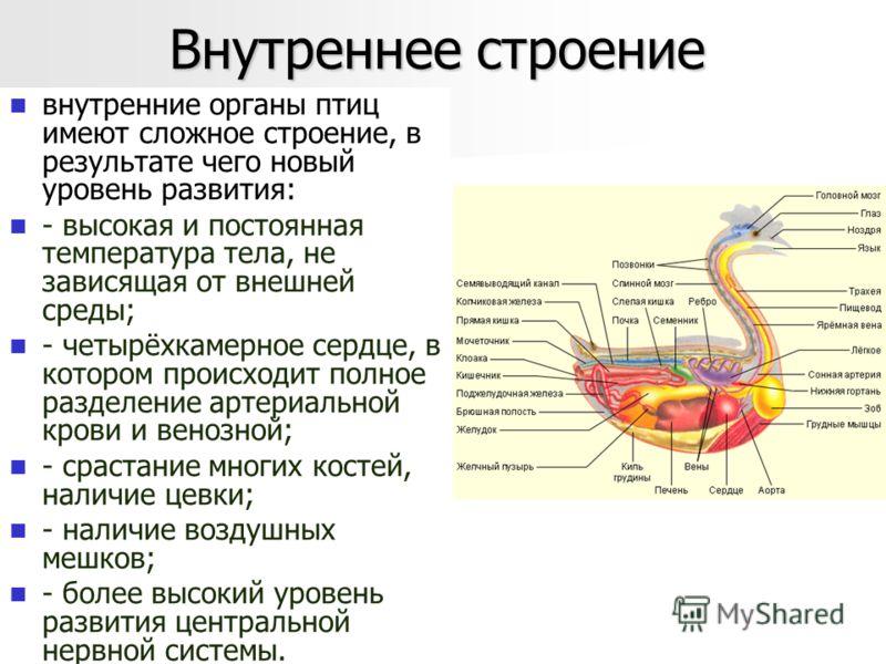 Внутреннее строение внутренние органы птиц имеют сложное строение, в результате чего новый уровень развития: - высокая и постоянная температура тела, не зависящая от внешней среды; - четырёхкамерное сердце, в котором происходит полное разделение арте