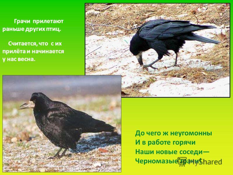 Грачи прилетают раньше других птиц. Считается, что с их прилёта и начинается у нас весна. До чего ж неугомонны И в работе горячи Наши новые соседи Черномазые грачи!