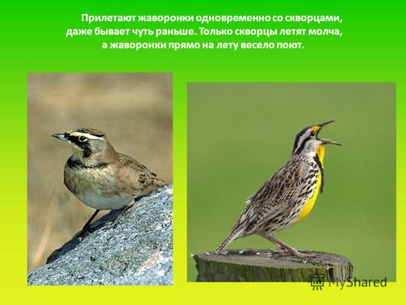Прилетают жаворонки одновременно со скворцами, даже бывает чуть раньше. Только скворцы летят молча, а жаворонки прямо на лету весело поют.