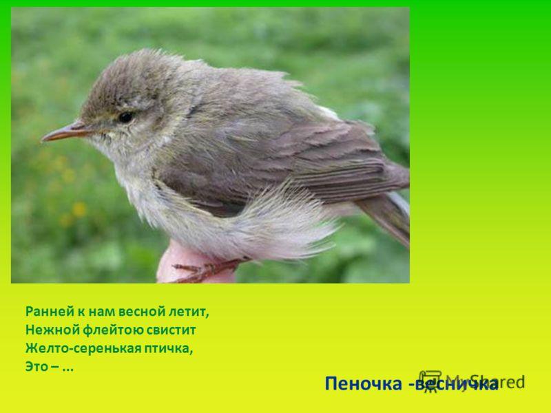Ранней к нам весной летит, Нежной флейтою свистит Желто-серенькая птичка, Это –... Пеночка -весничка