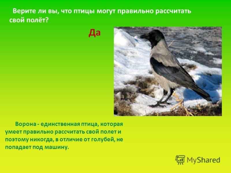 Ворона - единственная птица, которая умеет правильно рассчитать свой полет и поэтому никогда, в отличие от голубей, не попадает под машину. Верите ли вы, что птицы могут правильно рассчитать свой полёт? Да