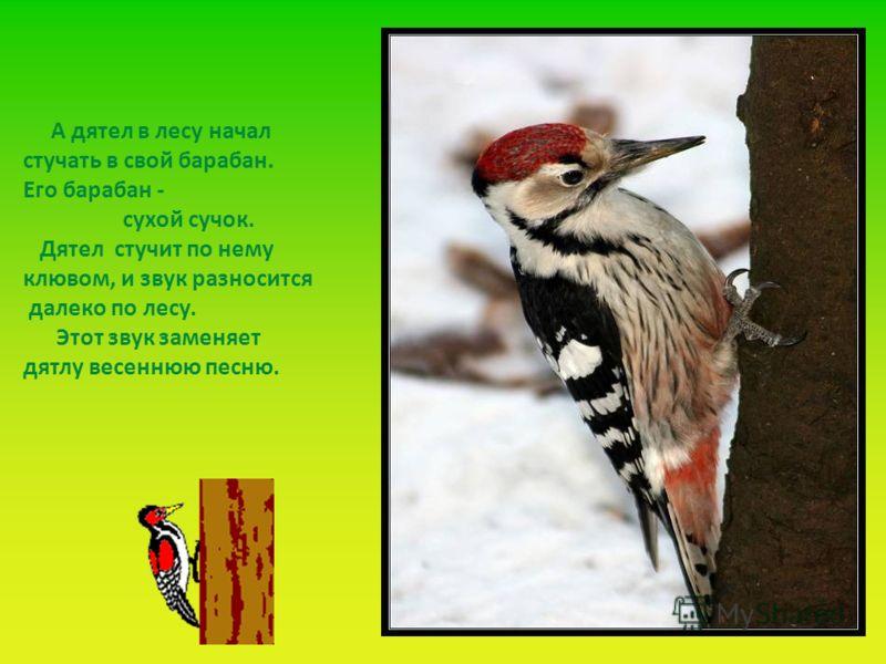 А дятел в лесу начал стучать в свой барабан. Его барабан - сухой сучок. Дятел стучит по нему клювом, и звук разносится далеко по лесу. Этот звук заменяет дятлу весеннюю песню.