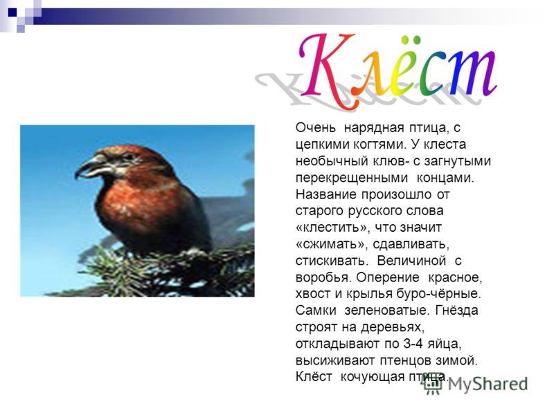 Очень нарядная птица, с цепкими когтями. У клеста необычный клюв- с загнутыми перекрещенными концами. Название произошло от старого русского слова «клестить», что значит «сжимать», сдавливать, стискивать. Величиной с воробья. Оперение красное, хвост