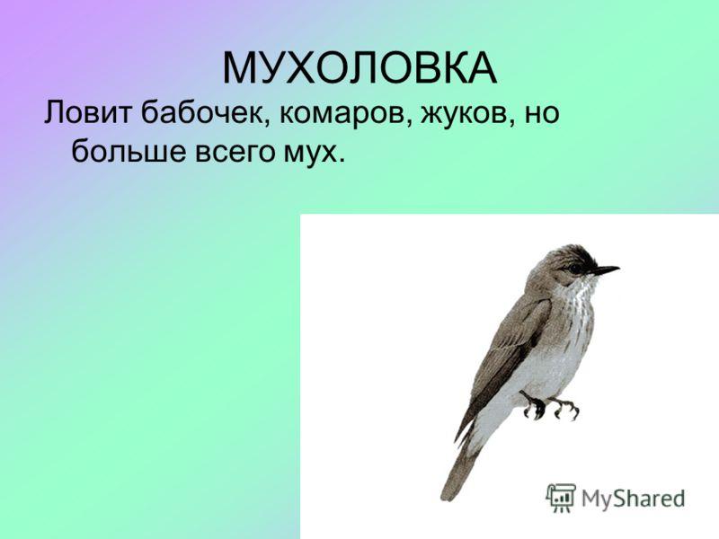 МУХОЛОВКА Ловит бабочек, комаров, жуков, но больше всего мух.