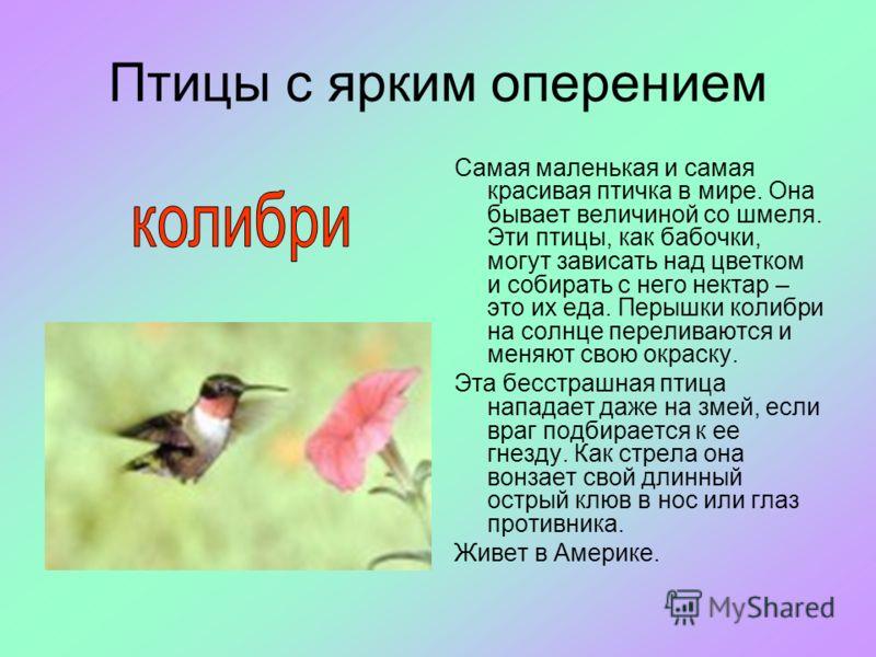 Птицы с ярким оперением Самая маленькая и самая красивая птичка в мире. Она бывает величиной со шмеля. Эти птицы, как бабочки, могут зависать над цветком и собирать с него нектар – это их еда. Перышки колибри на солнце переливаются и меняют свою окра
