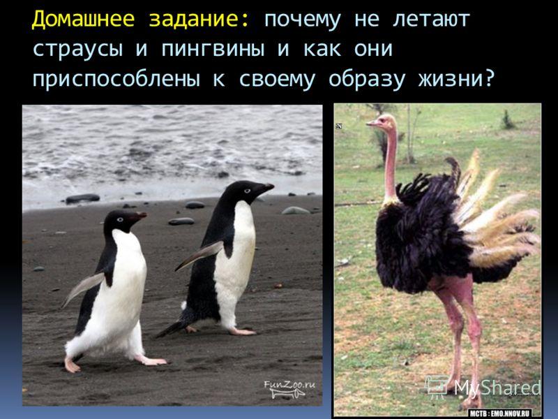 Домашнее задание: почему не летают страусы и пингвины и как они приспособлены к своему образу жизни?