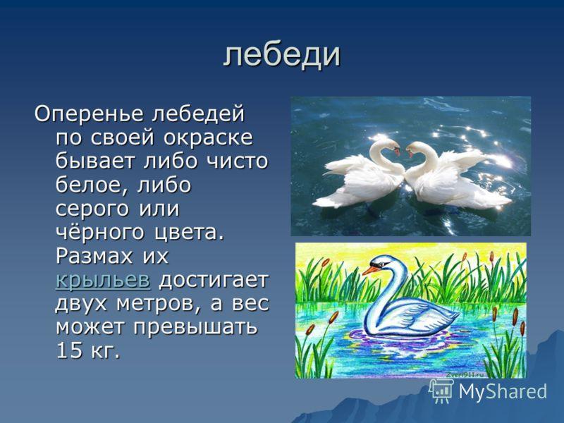 лебеди Оперенье лебедей по своей окраске бывает либо чисто белое, либо серого или чёрного цвета. Размах их крыльев достигает двух метров, а вес может превышать 15 кг. крыльев