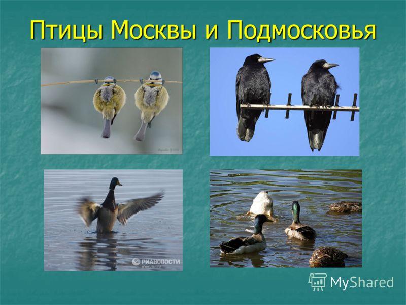 Птицы Москвы и Подмосковья