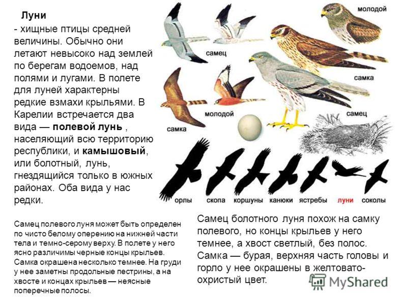 Луни - хищные птицы средней величины. Обычно они летают невысоко над землей по берегам водоемов, над полями и лугами. В полете для луней характерны редкие взмахи крыльями. В Карелии встречается два вида полевой лунь, населяющий всю территорию республ