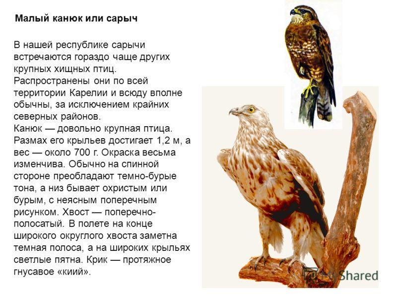 Малый канюк или сарыч В нашей республике сарычи встречаются гораздо чаще других крупных хищных птиц. Распространены они по всей территории Карелии и всюду вполне обычны, за исключением крайних северных районов. Канюк довольно крупная птица. Размах ег