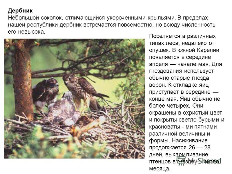 Дербник Небольшой соколок, отличающийся укороченными крыльями. В пределах нашей республики дербник встречается повсеместно, но всюду численность его невысока. Поселяется в различных типах леса, недалеко от опушек. В южной Карелии появляется в середин