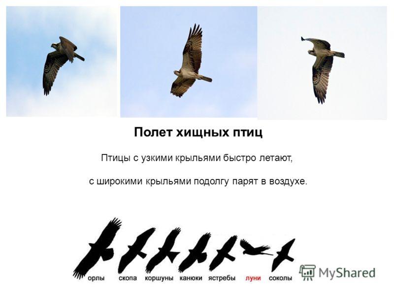 Полет хищных птиц Птицы с узкими крыльями быстро летают, с широкими крыльями подолгу парят в воздухе.