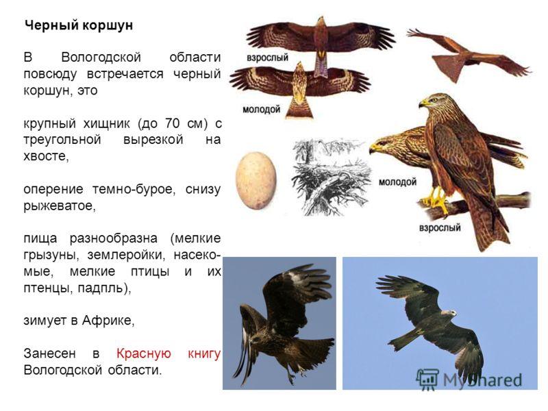 Черный коршун В Вологодской области повсюду встречается черный коршун, это крупный хищник (до 70 см) с треугольной вырезкой на хвосте, оперение темно-бурое, снизу рыжеватое, пища разнообразна (мелкие грызуны, землеройки, насеко- мые, мелкие птицы и и