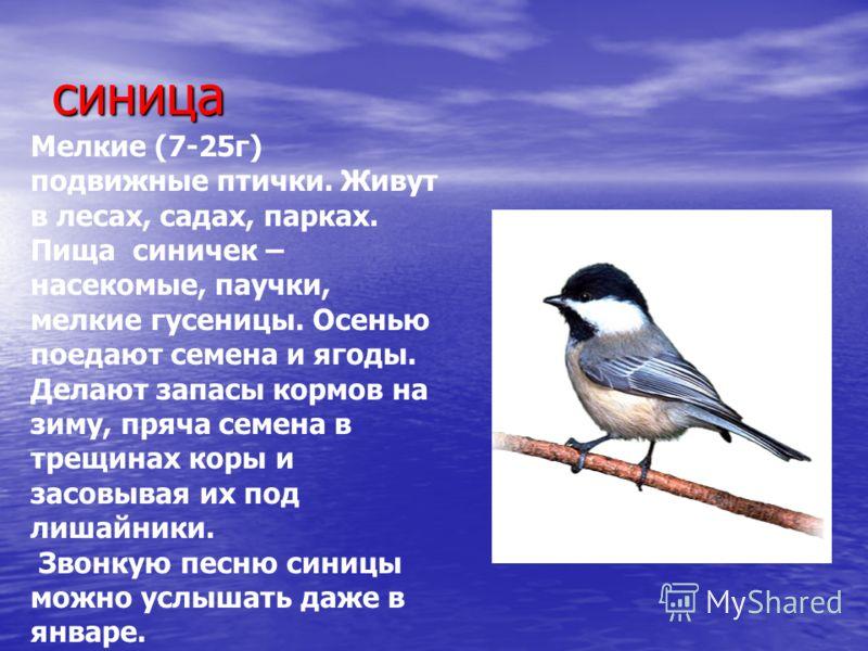 синица Мелкие (7-25г) подвижные птички. Живут в лесах, садах, парках. Пища синичек – насекомые, паучки, мелкие гусеницы. Осенью поедают семена и ягоды. Делают запасы кормов на зиму, пряча семена в трещинах коры и засовывая их под лишайники. Звонкую п
