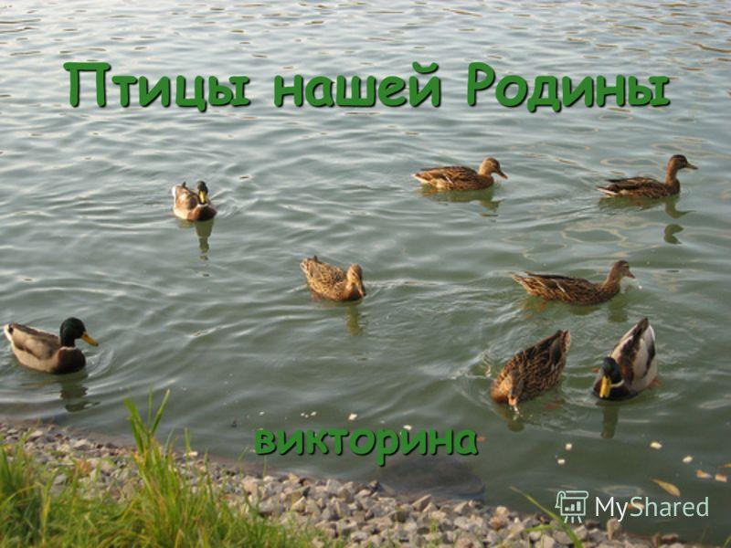 Птицы нашей Родины викторина