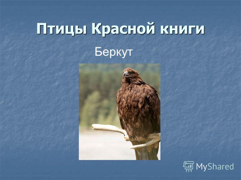 Птицы Красной книги Беркут