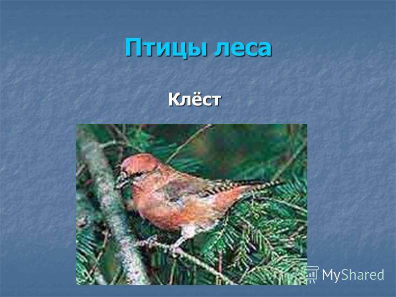 Птицы леса Клёст