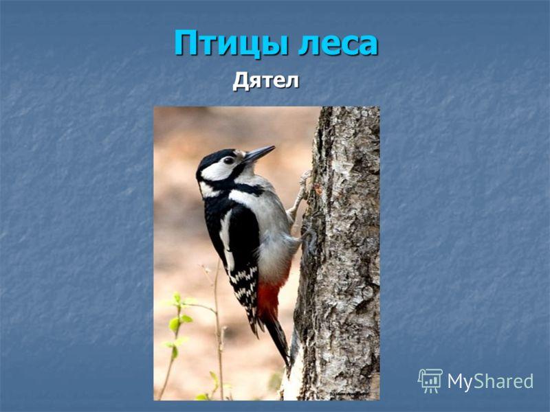 Дятел Птицы леса