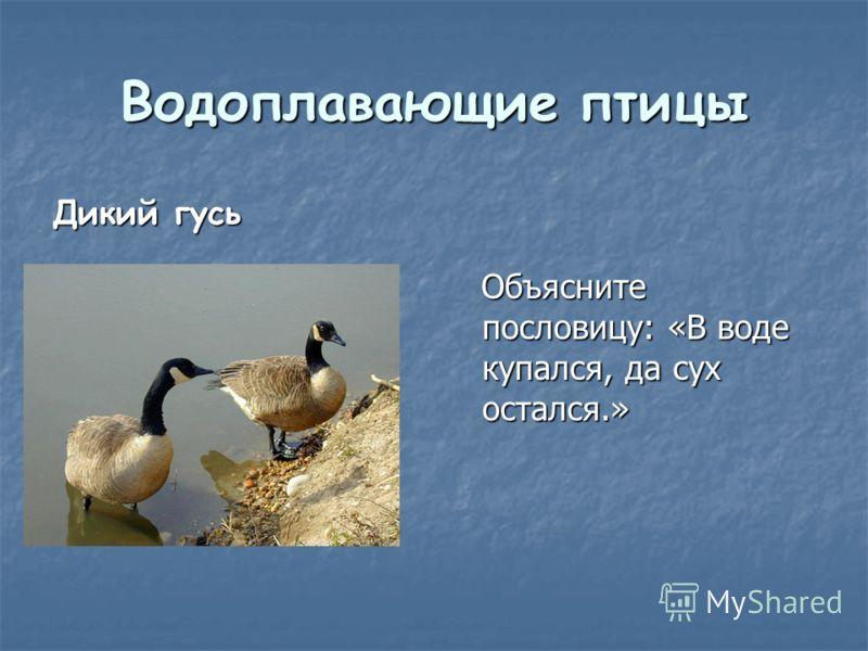 Водоплавающие птицы Дикий гусь Объясните пословицу: «В воде купался, да сух остался.» Объясните пословицу: «В воде купался, да сух остался.»