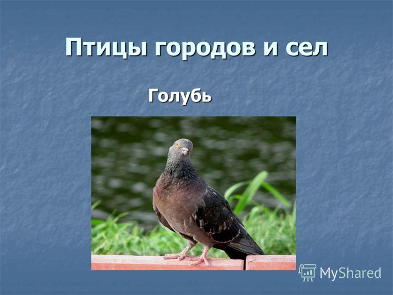 Птицы городов и сел Голубь