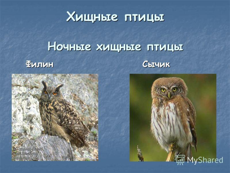 Хищные птицы Ночные хищные птицы Филин Филин Сычик Сычик