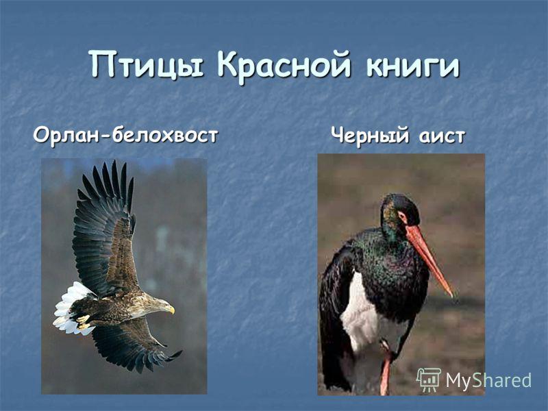 Птицы Красной книги Орлан-белохвост Черный аист Черный аист