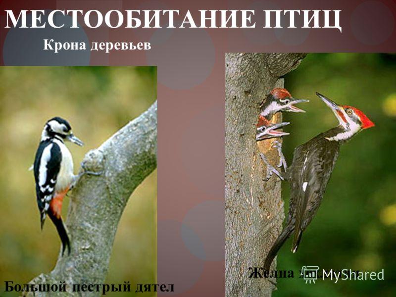 МЕСТООБИТАНИЕ ПТИЦ Большой пестрый дятел Крона деревьев Желна хохлатая