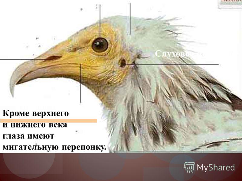 Ноздри Слуховое отверстие Глаза Ротовое отверстие Голова птицы Кроме верхнего и нижнего века глаза имеют мигательную перепонку.