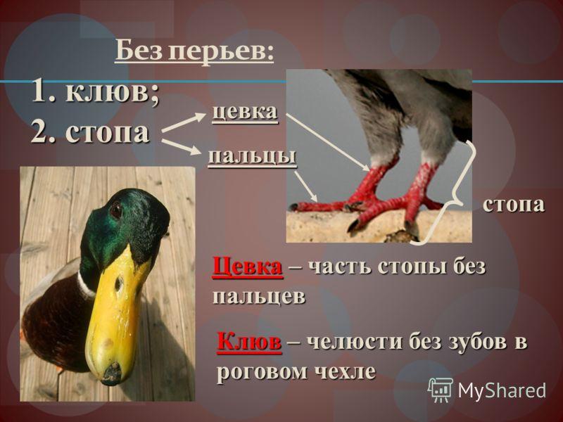 Без перьев: 1. клюв; 2. стопа стопа цевка пальцы Цевка – часть стопы без пальцев Клюв – челюсти без зубов в роговом чехле