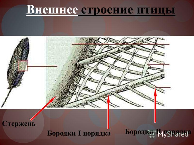 Внешнее строение птицы Бородки I порядка Бородки II порядка Стержень