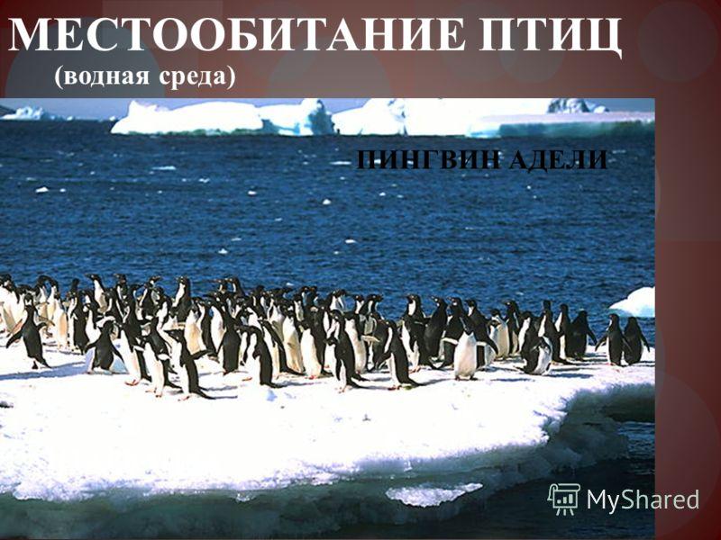 МЕСТООБИТАНИЕ ПТИЦ ПИНГВИН АДЕЛИ АНТАРКТИДА (водная среда)
