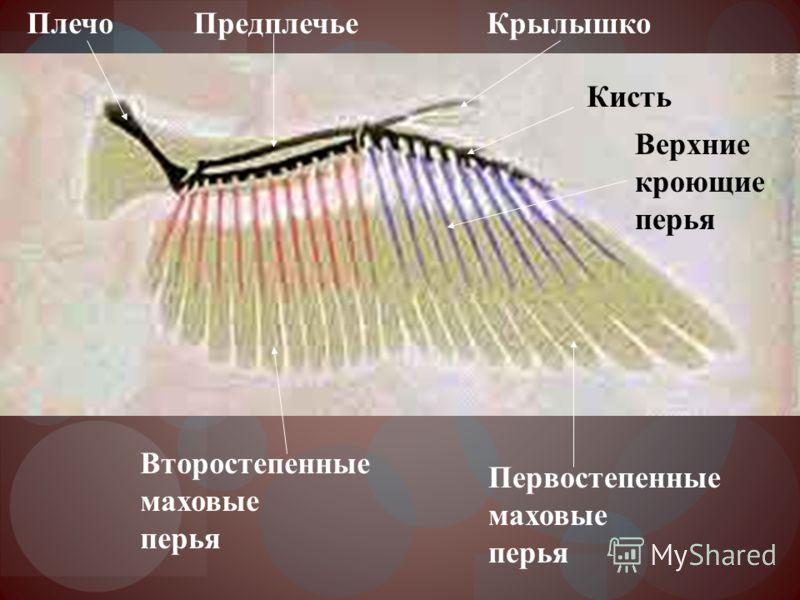 Первостепенные маховые перья Второстепенные маховые перья Крылышко Кисть ПредплечьеПлечо Верхние кроющие перья