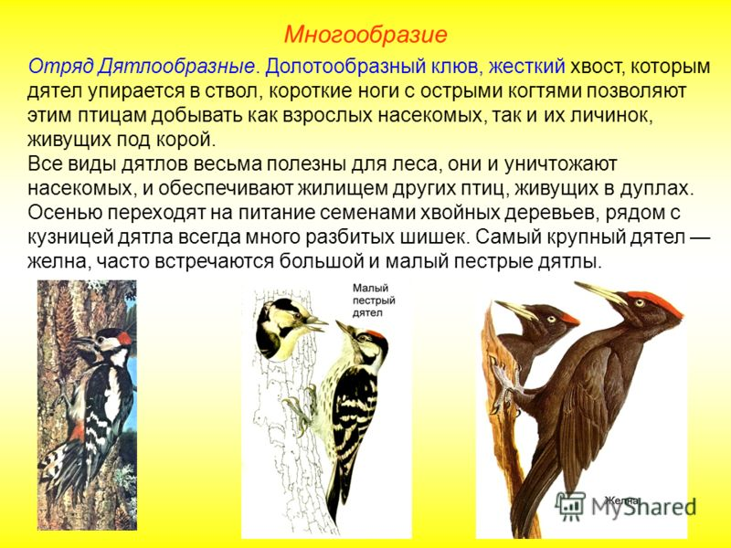 Многообразие Отряд Дятлообразные. Долотообразный клюв, жесткий хвост, которым дятел упирается в ствол, короткие ноги с острыми когтями позволяют этим птицам добывать как взрослых насекомых, так и их личинок, живущих под корой. Все виды дятлов весьма