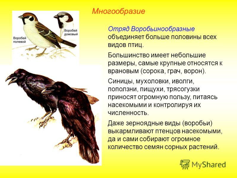 Многообразие Отряд Воробьинообразные объединяет больше половины всех видов птиц. Большинство имеет небольшие размеры, самые крупные относятся к врановым (сорока, грач, ворон). Синицы, мухоловки, иволги, поползни, пищухи, трясогузки приносят огромную