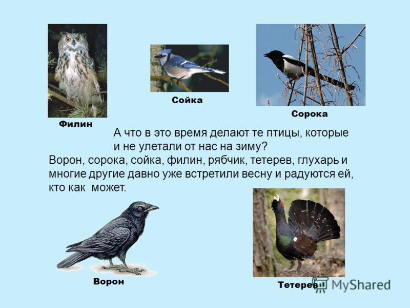 А что в это время делают те птицы, которые и не улетали от нас на зиму? Ворон Сорока Филин Сойка Тетерев Ворон, сорока, сойка, филин, рябчик, тетерев, глухарь и многие другие давно уже встретили весну и радуются ей, кто как может.